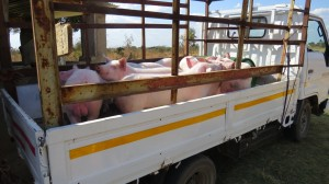 schweinetransport